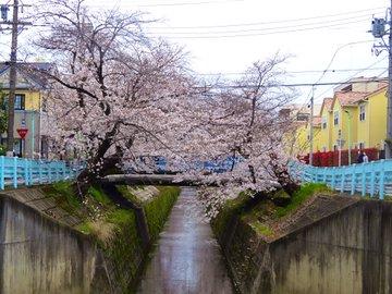 山崎川の桜