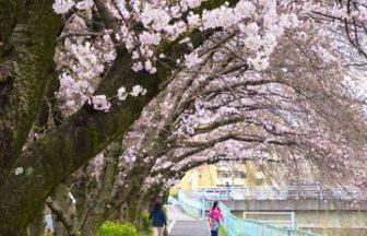 香流川の桜