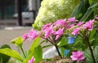 港北公園の紫陽花