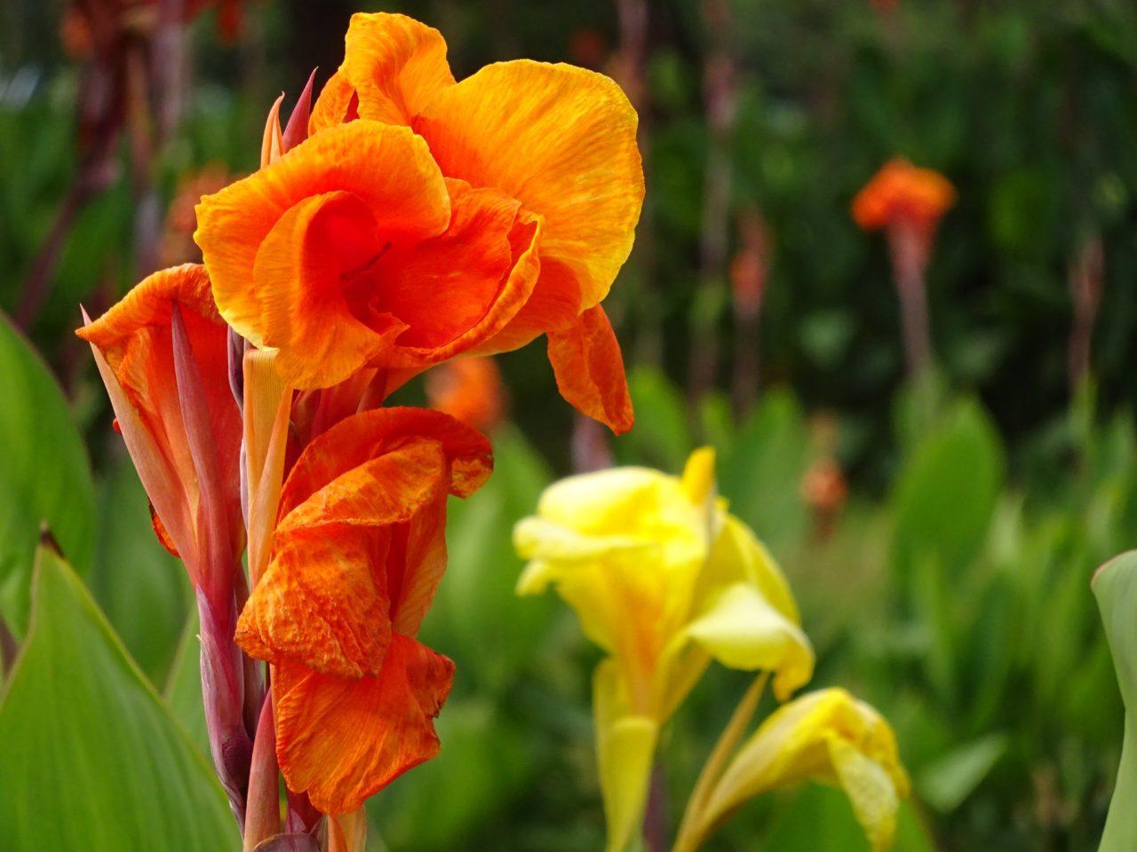 名古屋市のカンナの花